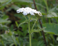 Image 1 for Common White Yarrow - Achillea millefolium 4 ½ pots