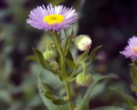 "Image 1 for Showy Fleabane - Erigeron speciosus 4 ½"" pots"