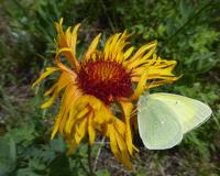 "Image 1 for Native Blanket Flower - Gaillardia aristata 4 ½"" pots"